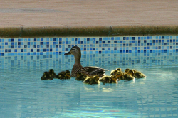Ducks in a Swimming Pool